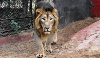 8 aslan koronavirüse yakalandı