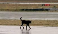 Atatürk Havalimanı'nda Piste Köpek Girdi
