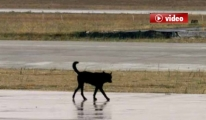 Atatürk Havalimanı Trafiğini Alt Üst Eden Köpek Kamerada