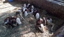 Aydın'da bir inek beşiz buzağı doğurdu