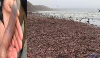 Binlerce Penis balık karaya vurdu!