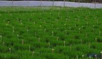 Çin'de melez pirinç tohumu klonlandı