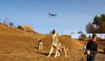 Çoban köpeği, dronu havada parçaladı(video)