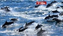 Denizlerdeki Yunus Sayısı 4 Milyonu Buldu video