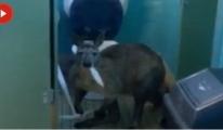 Evde Tuvalet Kağıdı Yiyen Bir Kanguruyla Karşılaştılar