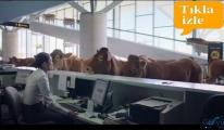 Havalimanı'nda sığırlar check-in sırasında!