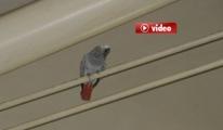 Havalimanında Papağan Yakalama Operasyonu video