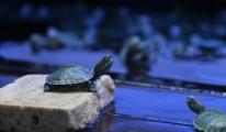 Kaçak Kaplumbağalar Yeni Yuvalarına Götürüldü