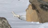 Kars'ta beyaz gelincik görüntülendi