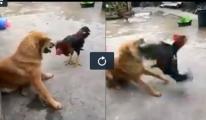 Köpekle Horozun Kavgasında Galip Kim ?