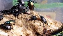 Tekirdağ'daki çam ağaçları 'terminatör' böceği ile korumaya alındı