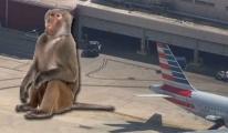 Teksas Havalimanı'nda kaçan babun zor yakalandı!