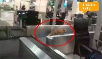video Havalimanı'na tilki girdi