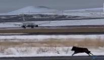 video Kars'ta havalimanı pistine kurt indi