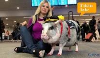 video Yolcular için havaalanı'nda terapi domuzu