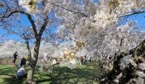 Washington'da Japon kiraz çiçekleri açtı(video)