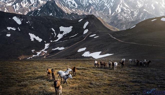 Drone ile görüntülenen yılkı atları büyüledi
