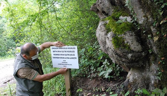 El figürlü ağaç koruma altında#video