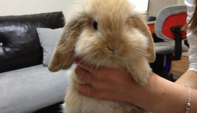 THY tavşan taşımayı reddetti!
