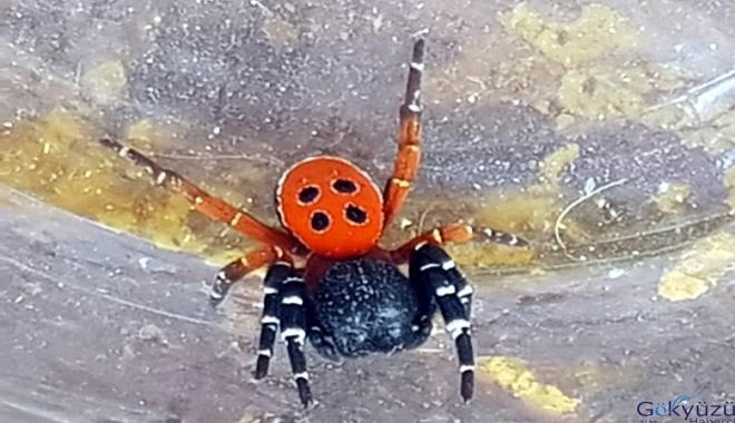 Zehirli 'uğur böceği örümceği' şaşırttı