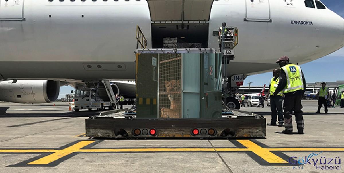 Turkish Cargo, sirk aslanlarını doğal yaşama kavuşturdu!